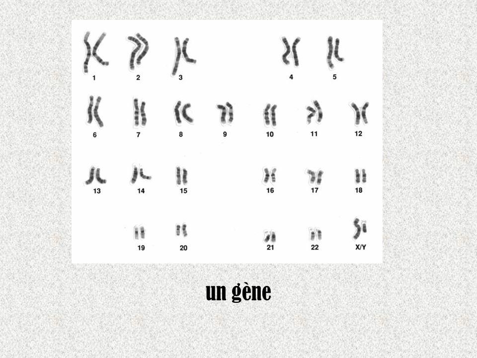 un gène