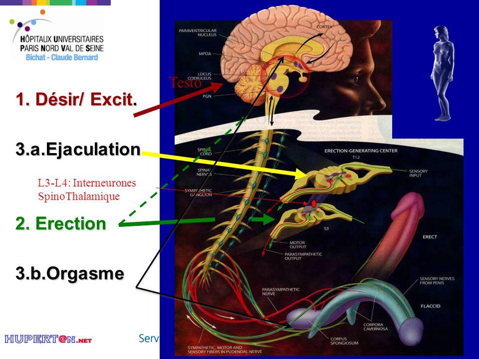 15 1. Désir/ Excit. 3.a.Ejaculation 2. Erection 3.b.Orgasme Testo L3-L4: Interneurones SpinoThalamique