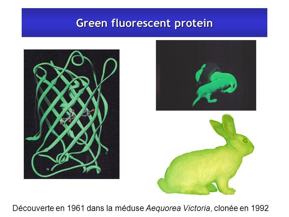Green fluorescent protein Découverte en 1961 dans la méduse Aequorea Victoria, clonée en 1992