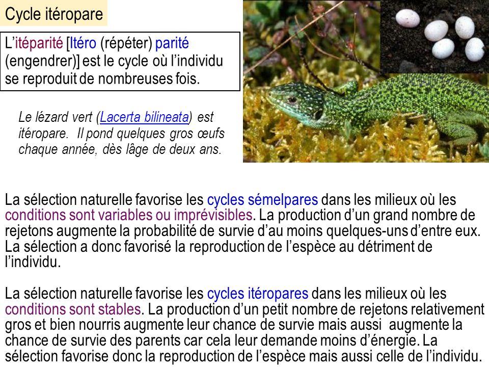 Le lézard vert (Lacerta bilineata) est itéropare.