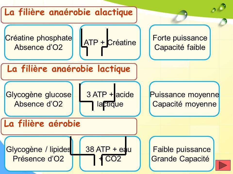 La fili è re ana é robie alactique Créatine phosphate Absence dO2 ATP + Créatine Forte puissance Capacité faible La fili è re ana é robie lactique Gly