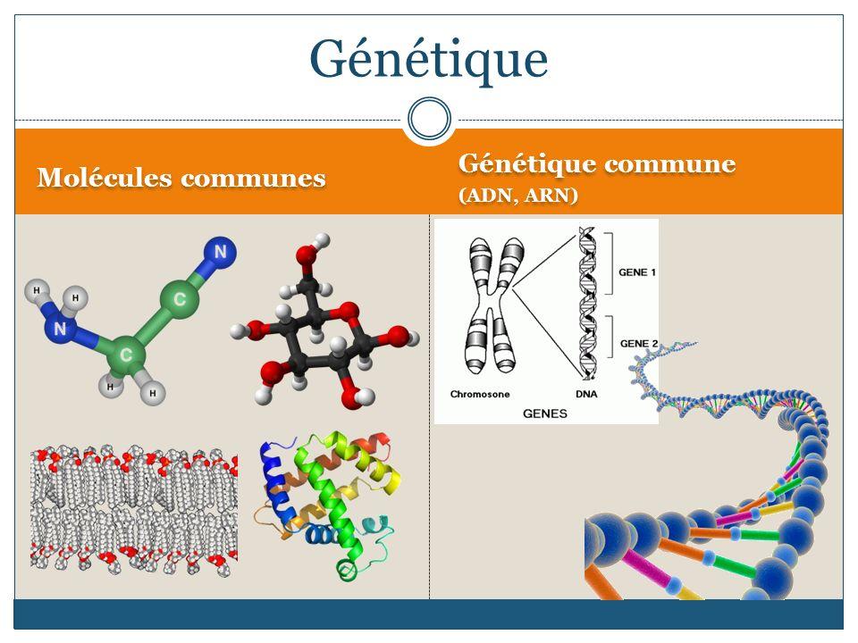 Molécules communes Génétique commune (ADN, ARN) Génétique commune (ADN, ARN) Génétique