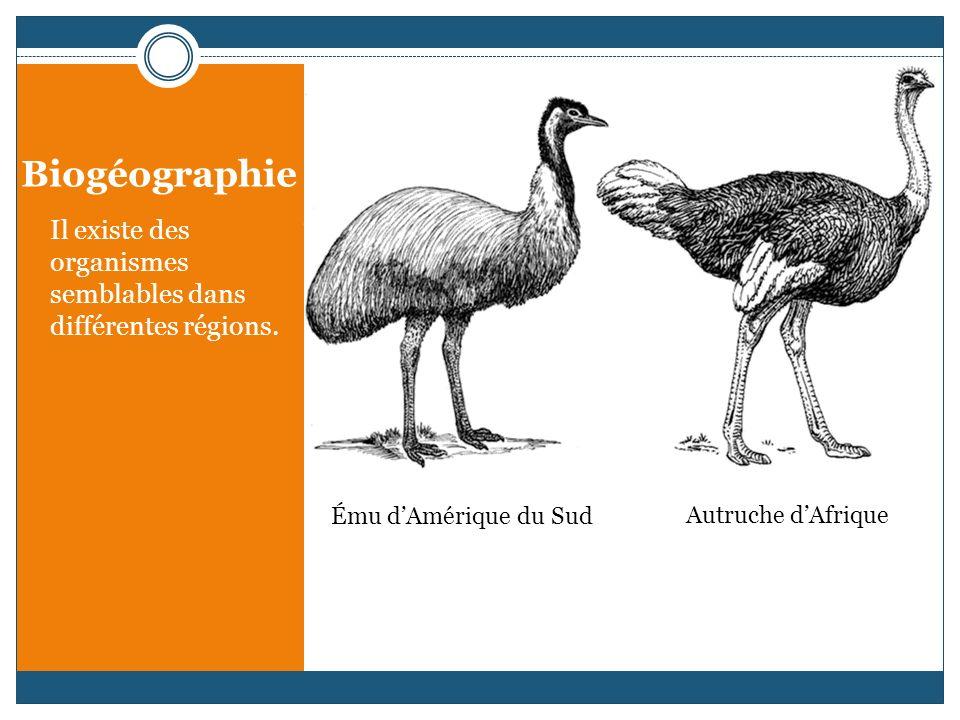 Il existe des organismes semblables dans différentes régions. Ému dAmérique du Sud Autruche dAfrique
