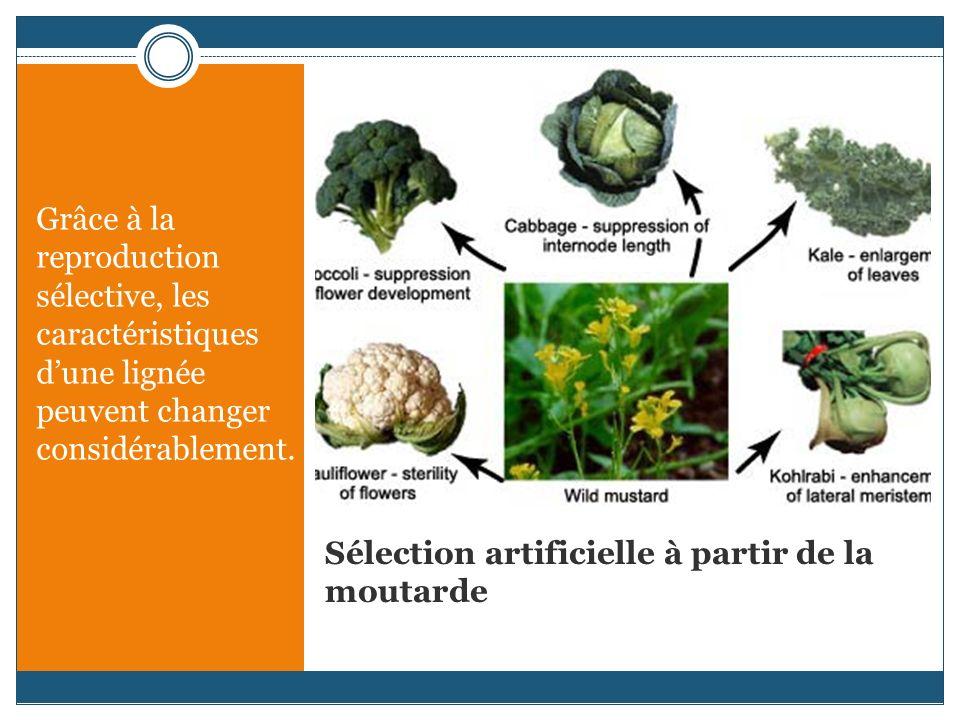 Sélection artificielle à partir de la moutarde Grâce à la reproduction sélective, les caractéristiques dune lignée peuvent changer considérablement.
