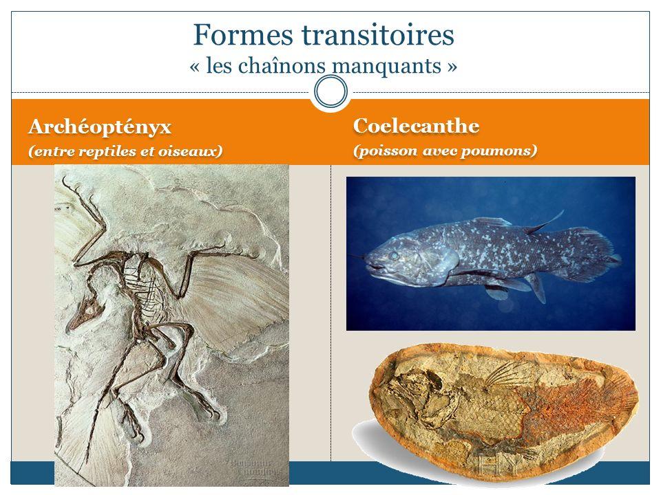 Archéoptényx (entre reptiles et oiseaux) Archéoptényx (entre reptiles et oiseaux) Coelecanthe (poisson avec poumons) Coelecanthe (poisson avec poumons) Formes transitoires « les chaînons manquants »