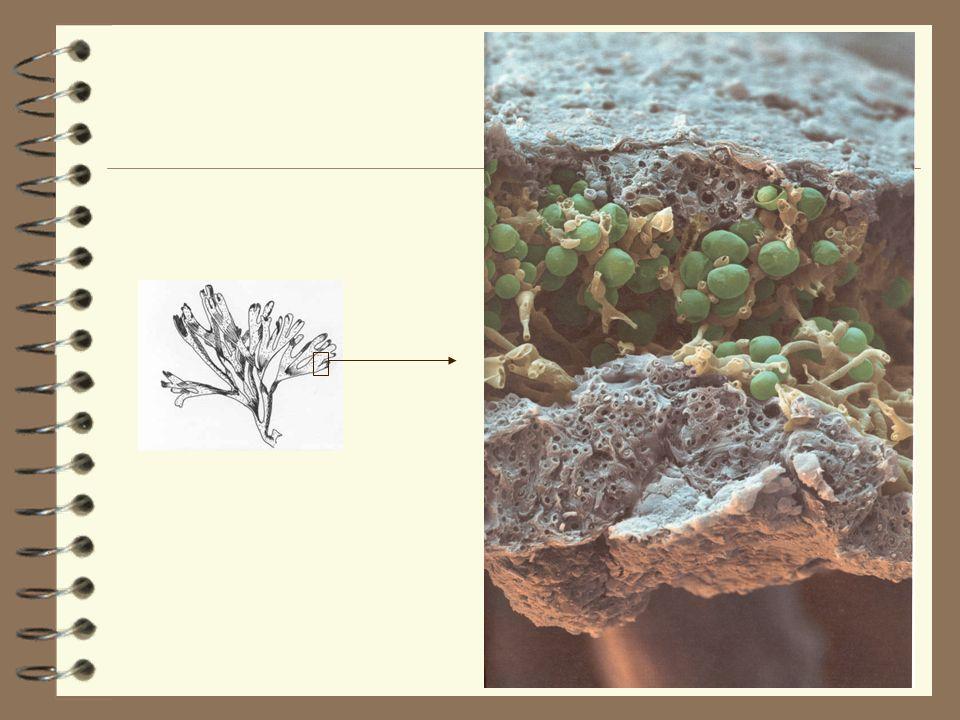 Quest-ce quun lichen? Une algue = SYMBIOSE Lichen Il y a échange: Champignon protection + eau, sels minéraux et antibiotiques Algue sucres obtenus par