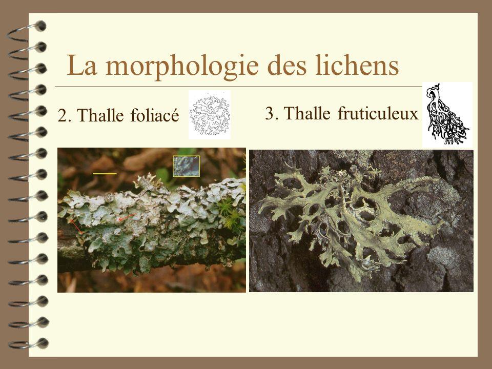 La morphologie des lichens 4 Le Thalle = le corps du lichen Les principaux types de thalles: 1. Thalle crustacé