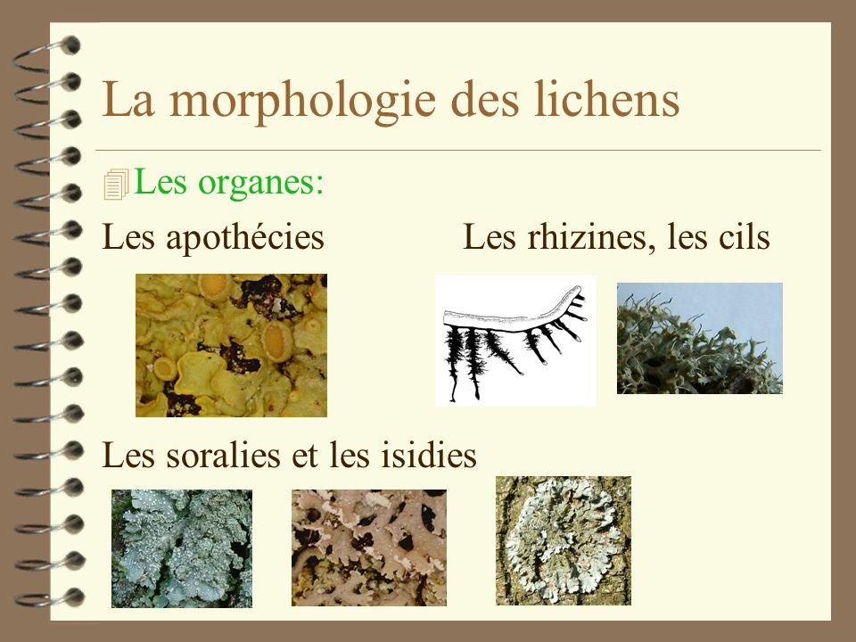 La morphologie des lichens 3. Thalle fruticuleux 2. Thalle foliacé