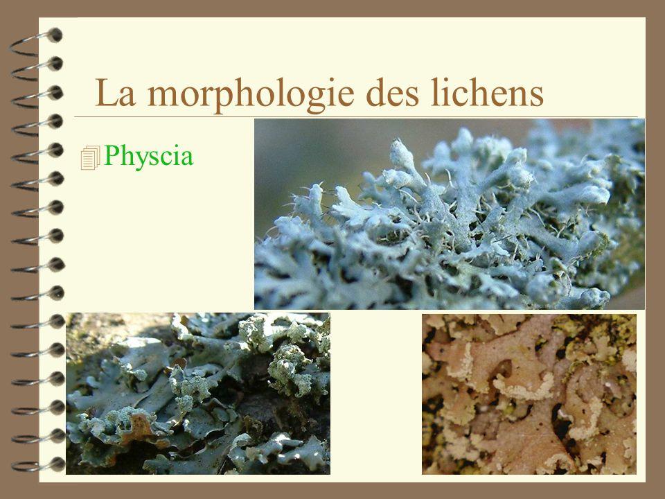 La morphologie des lichens 4 Les organes: Les apothécies Les rhizines, les cils Les soralies et les isidies