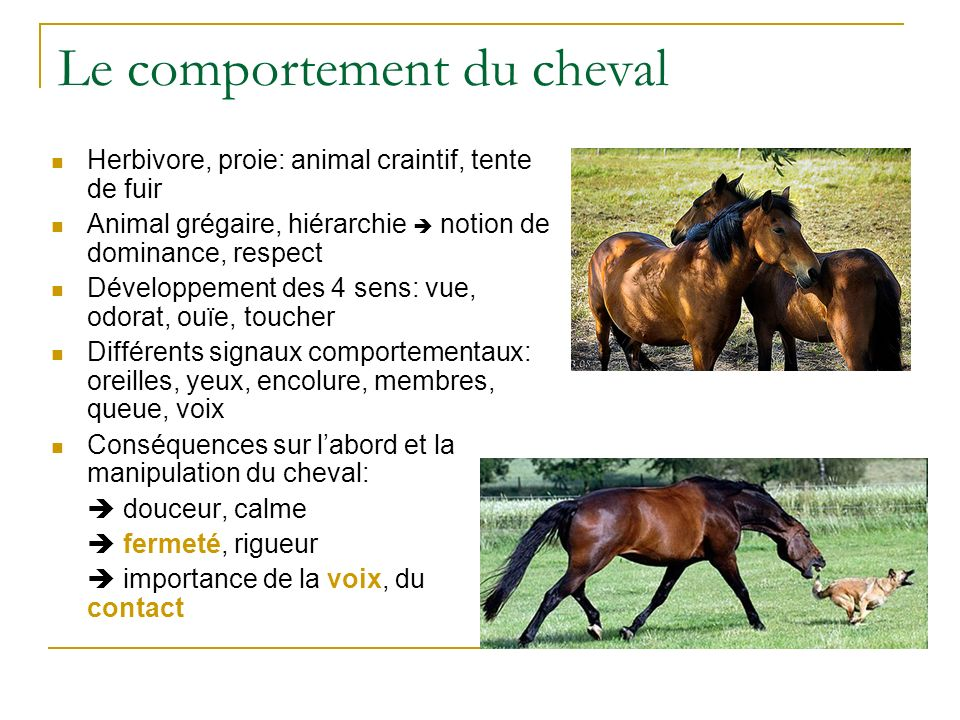Le comportement du cheval Herbivore, proie: animal craintif, tente de fuir Animal grégaire, hiérarchie notion de dominance, respect Développement des