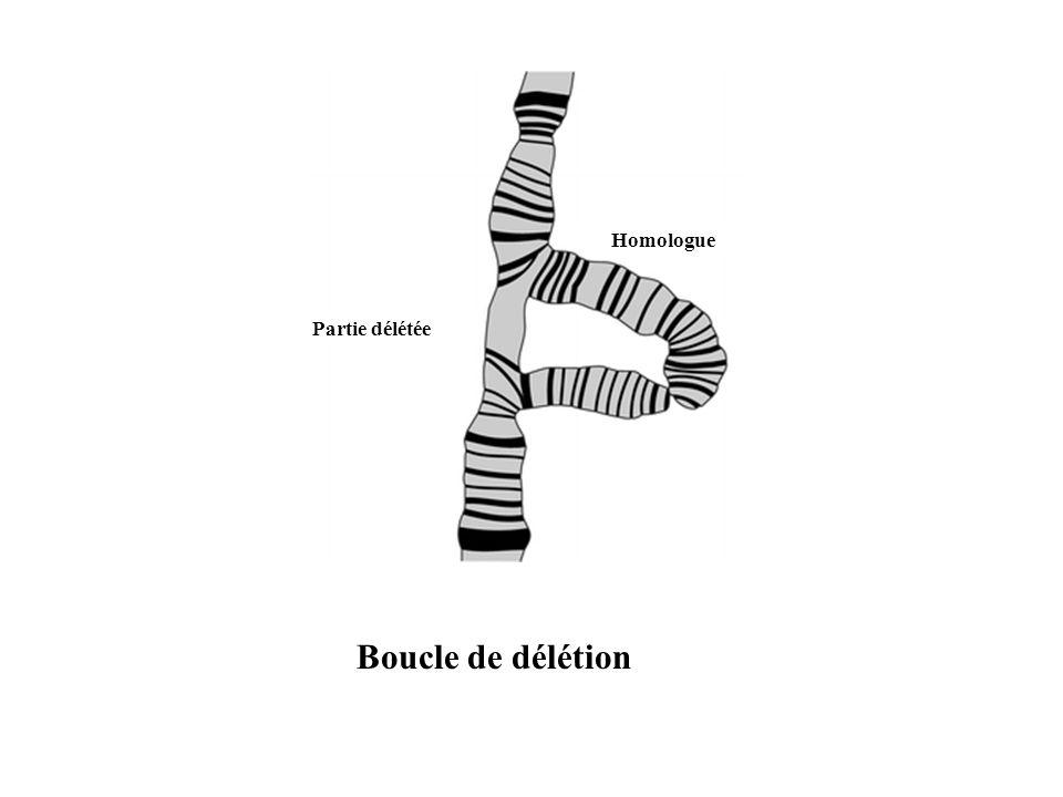 Boucle de délétion Partie délétée Homologue