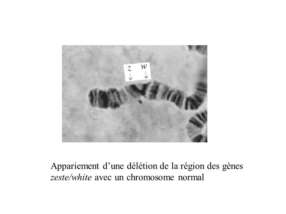 Appariement dune délétion de la région des gènes zeste/white avec un chromosome normal