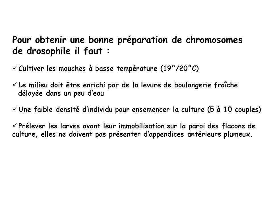 Pour obtenir une bonne préparation de chromosomes de drosophile il faut : Cultiver les mouches à basse température (19°/20°C) Le milieu doit être enri
