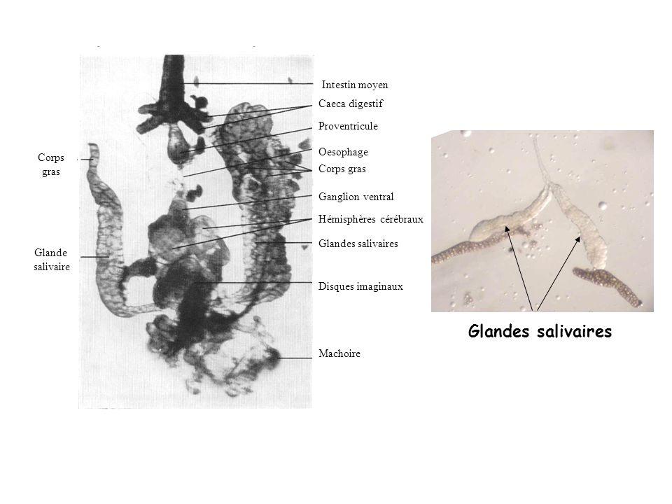 Glande salivaire Corps gras Intestin moyen Caeca digestif Proventricule Oesophage Corps gras Ganglion ventral Hémisphères cérébraux Glandes salivaires
