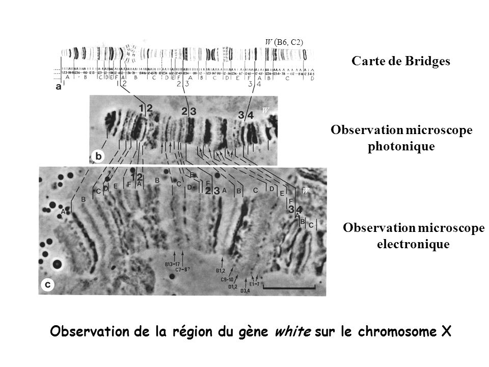 W ( B6, C2) W W Carte de Bridges Observation microscope photonique Observation microscope electronique Observation de la région du gène white sur le c