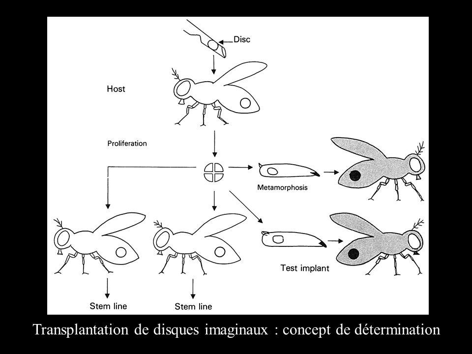 Transplantation de disques imaginaux : concept de détermination