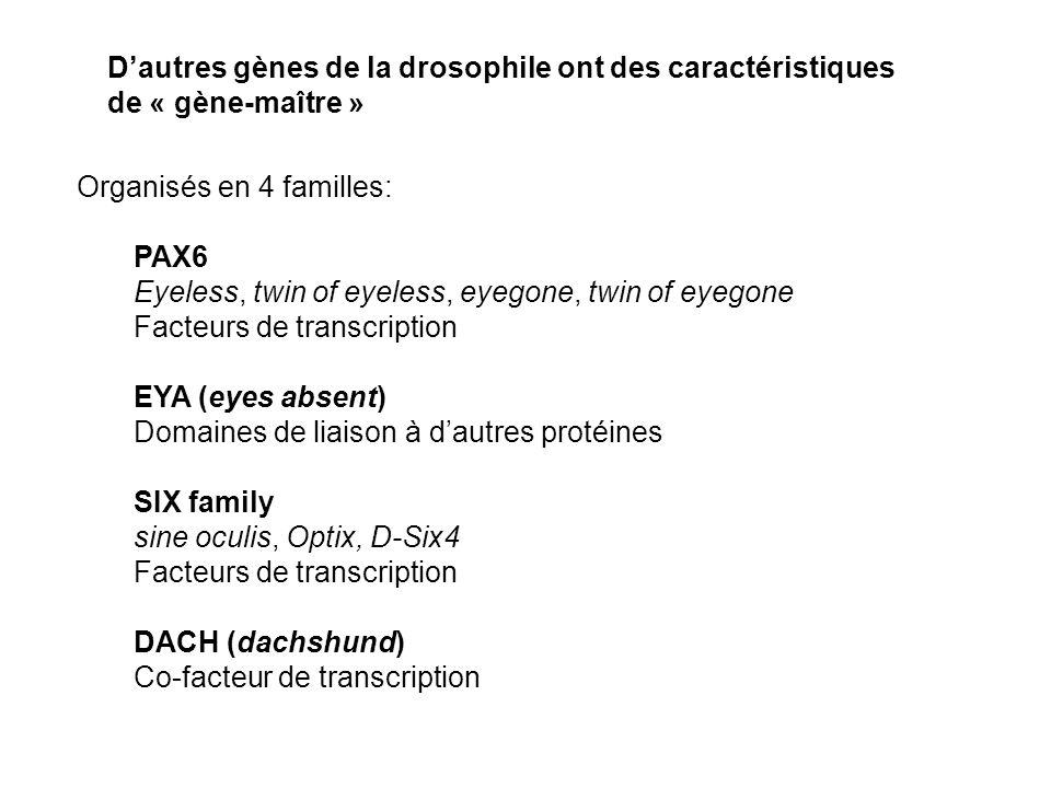 Organisés en 4 familles: PAX6 Eyeless, twin of eyeless, eyegone, twin of eyegone Facteurs de transcription EYA (eyes absent) Domaines de liaison à dautres protéines SIX family sine oculis, Optix, D-Six4 Facteurs de transcription DACH (dachshund) Co-facteur de transcription Dautres gènes de la drosophile ont des caractéristiques de « gène-maître »