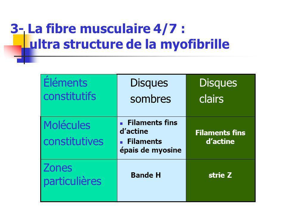 3- La fibre musculaire 4/7 : ultra structure de la myofibrille strie Z Bande H Zones particulières Filaments fins dactine Filaments épais de myosine Molécules constitutives Disques clairs Disques sombres Éléments constitutifs