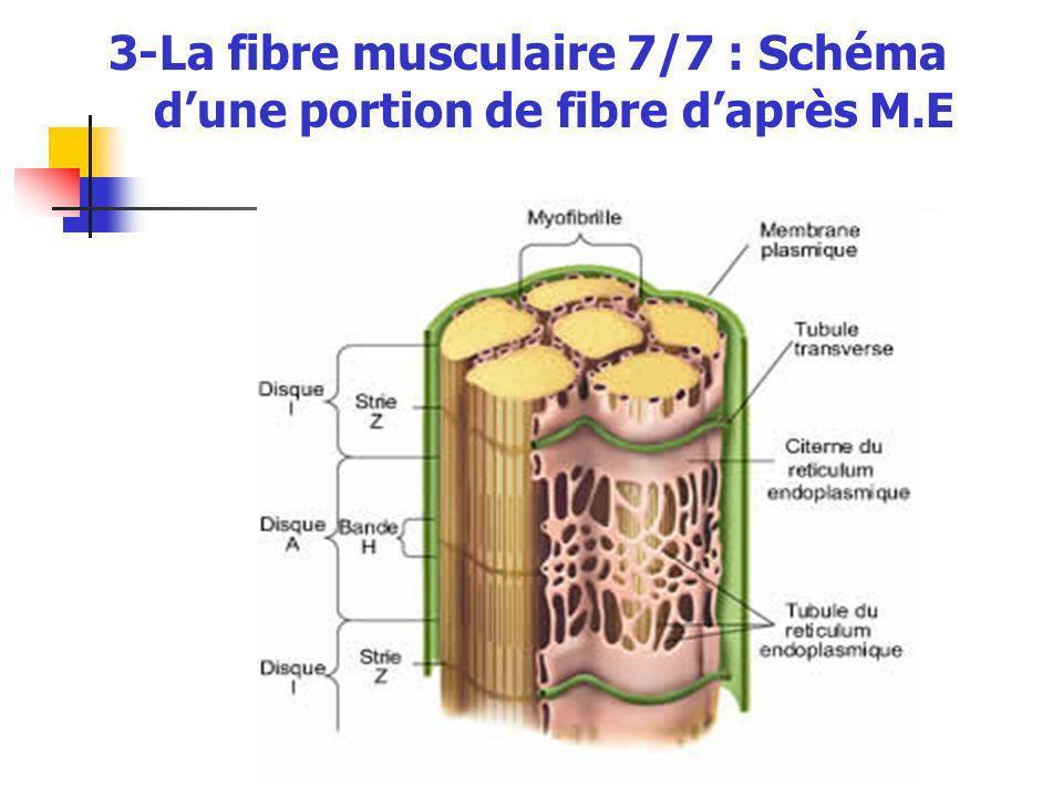 3-La fibre musculaire 7/7 : Schéma dune portion de fibre daprès M.E