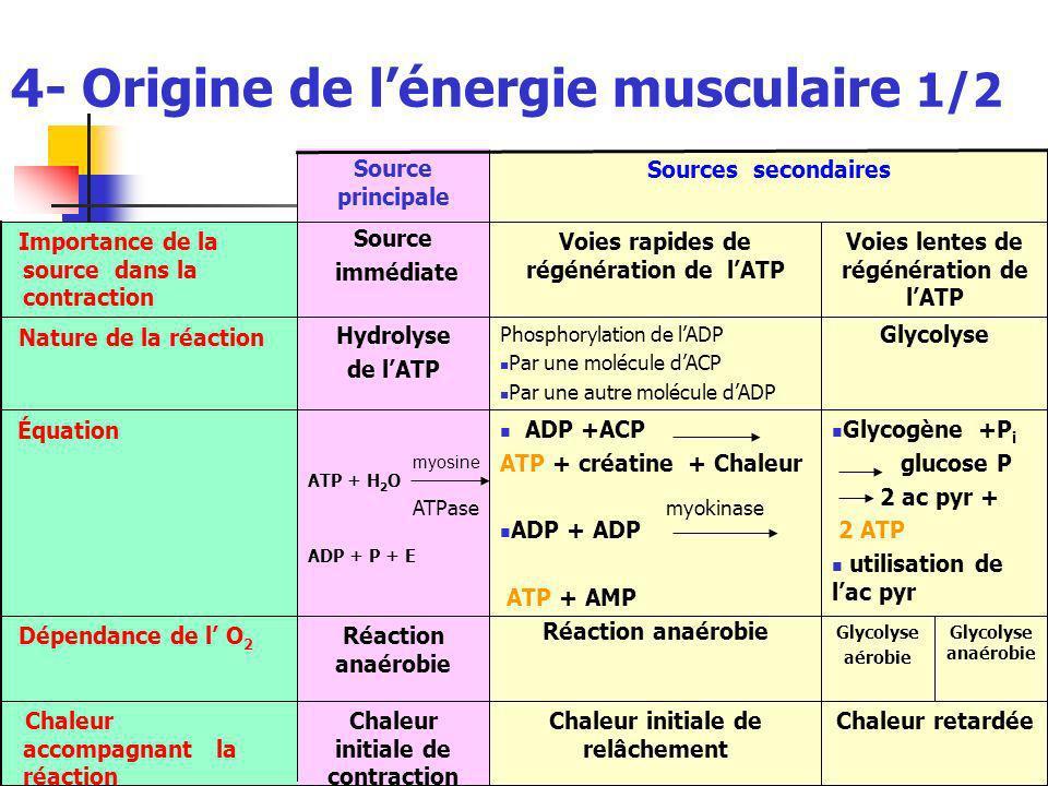 4- Origine de lénergie musculaire 1/2 Glycolyse anaérobie Chaleur retardée Glycolyse aérobie Glycogène +P i glucose P 2 ac pyr + 2 ATP utilisation de lac pyr Glycolyse Voies lentes de régénération de lATP Chaleur initiale de relâchement Chaleur initiale de contraction Chaleur accompagnant la réaction Réaction anaérobie Dépendance de l O 2 ADP +ACP ATP + créatine + Chaleur ADP + ADP ATP + AMP ATP + H 2 O ADP + P + E Équation Phosphorylation de lADP Par une molécule dACP Par une autre molécule dADP Hydrolyse de lATP Nature de la réaction Voies rapides de régénération de lATP Source immédiate Importance de la source dans la contraction Sources secondaires Source principale myokinase myosine ATPase