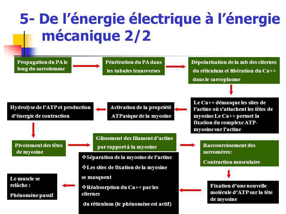 5- De lénergie électrique à lénergie mécanique 2/2 Propagation du PA le long du sarcolemme Pénétration du PA dans les tubules transverses Dépolarisati