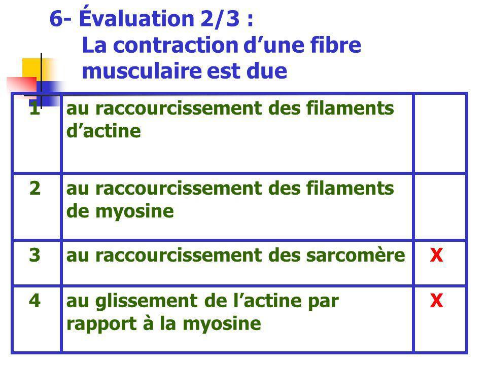6- Évaluation 2/3 : La contraction dune fibre musculaire est due Xau glissement de lactine par rapport à la myosine 4 Xau raccourcissement des sarcomère 3 au raccourcissement des filaments de myosine 2 au raccourcissement des filaments dactine 1