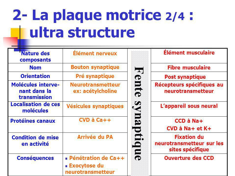 2- La plaque motrice 2/4 : ultra structure Ouverture des CCD Fixation du neurotransmetteur sur les sites spécifique CCD à Na+ CVD à Na+ et K+ Lapparei