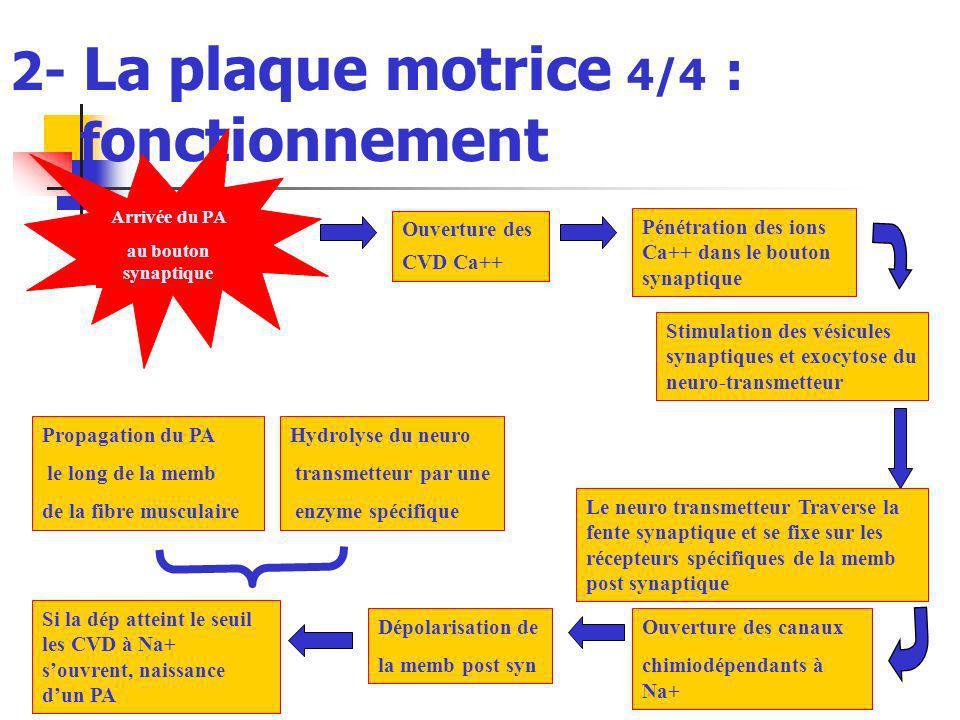 2- La plaque motrice 4/4 : f onctionnement Ouverture des CVD Ca++ Pénétration des ions Ca++ dans le bouton synaptique Arrivée du PA au bouton synaptiq