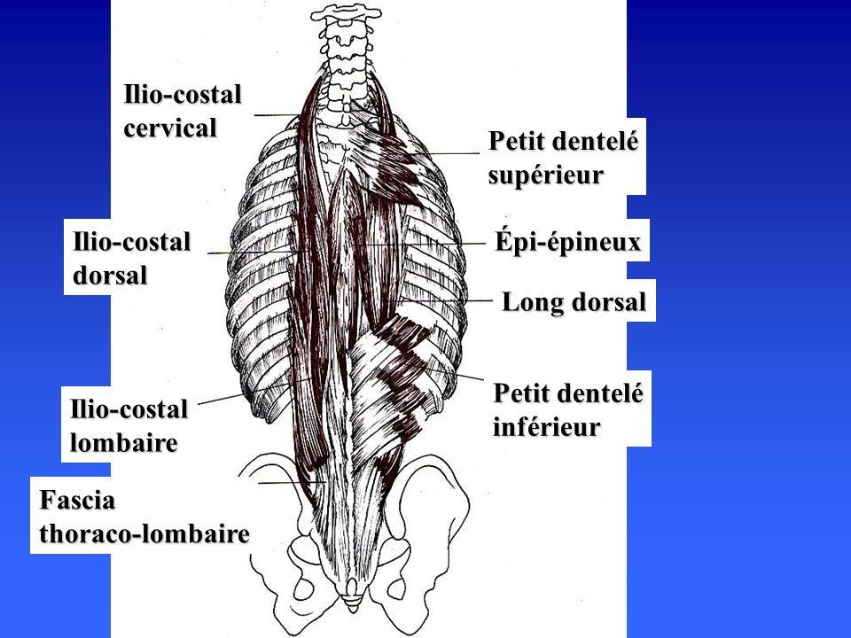 Petit dentelé inférieur Long dorsal Épi-épineux Petit dentelé supérieur Fascia thoraco-lombaire Ilio-costal lombaire Ilio-costal dorsal Ilio-costal cervical