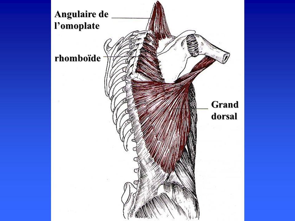 rhomboïde Grand dorsal Angulaire de lomoplate
