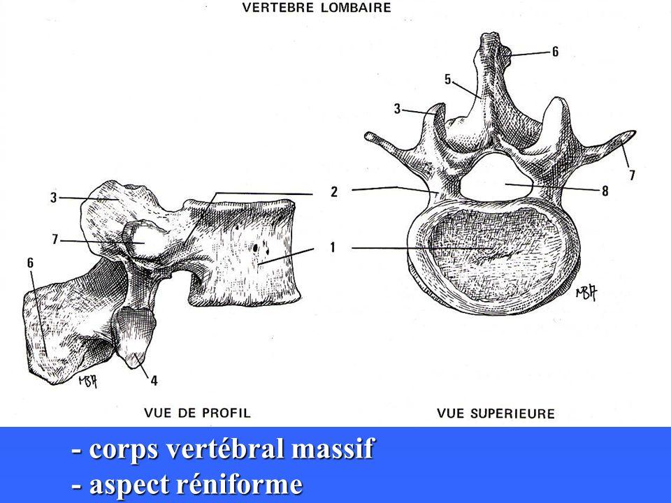 - corps vertébral massif - aspect réniforme