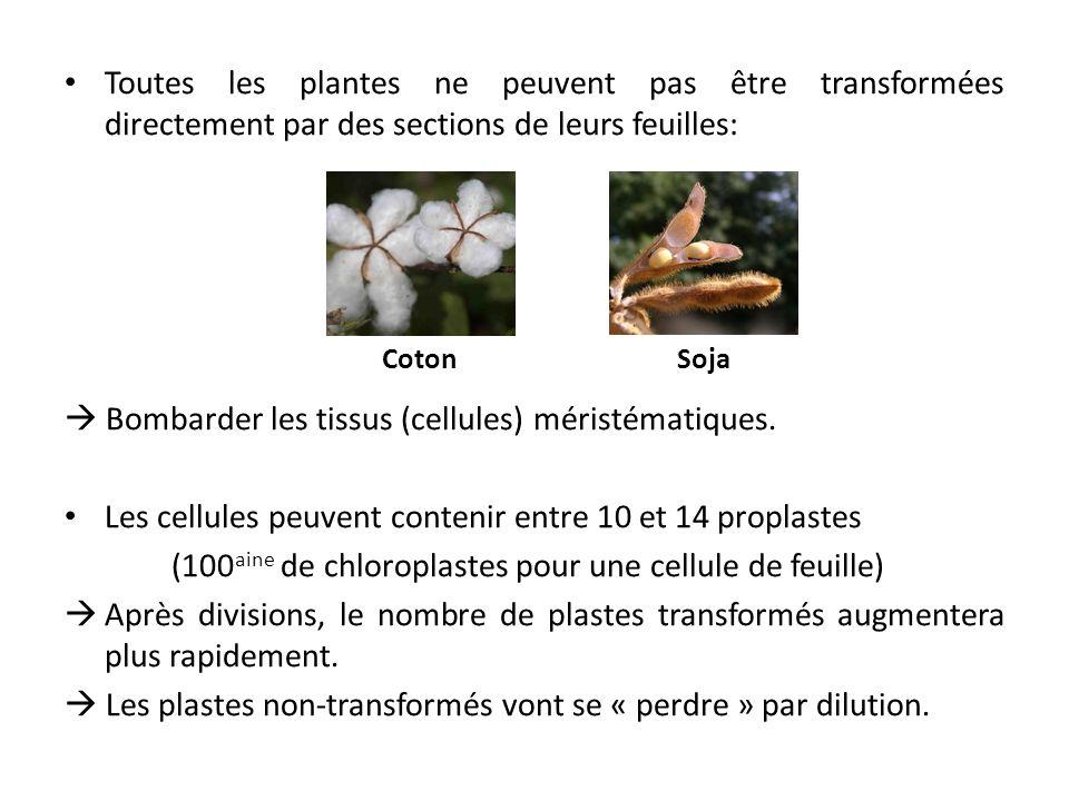 Toutes les plantes ne peuvent pas être transformées directement par des sections de leurs feuilles: Bombarder les tissus (cellules) méristématiques. L