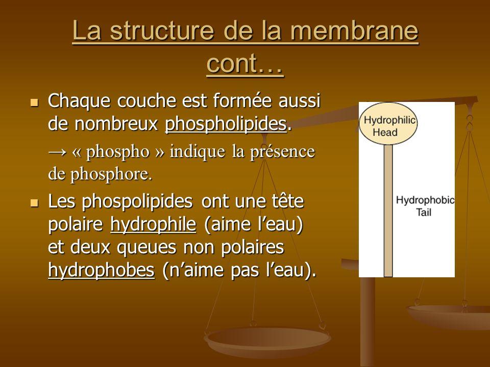 La structure de la membrane cont… Chaque couche est formée aussi de nombreux phospholipides. Chaque couche est formée aussi de nombreux phospholipides