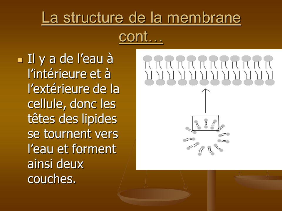 La structure de la membrane cont… Il y a de leau à lintérieure et à lextérieure de la cellule, donc les têtes des lipides se tournent vers leau et for