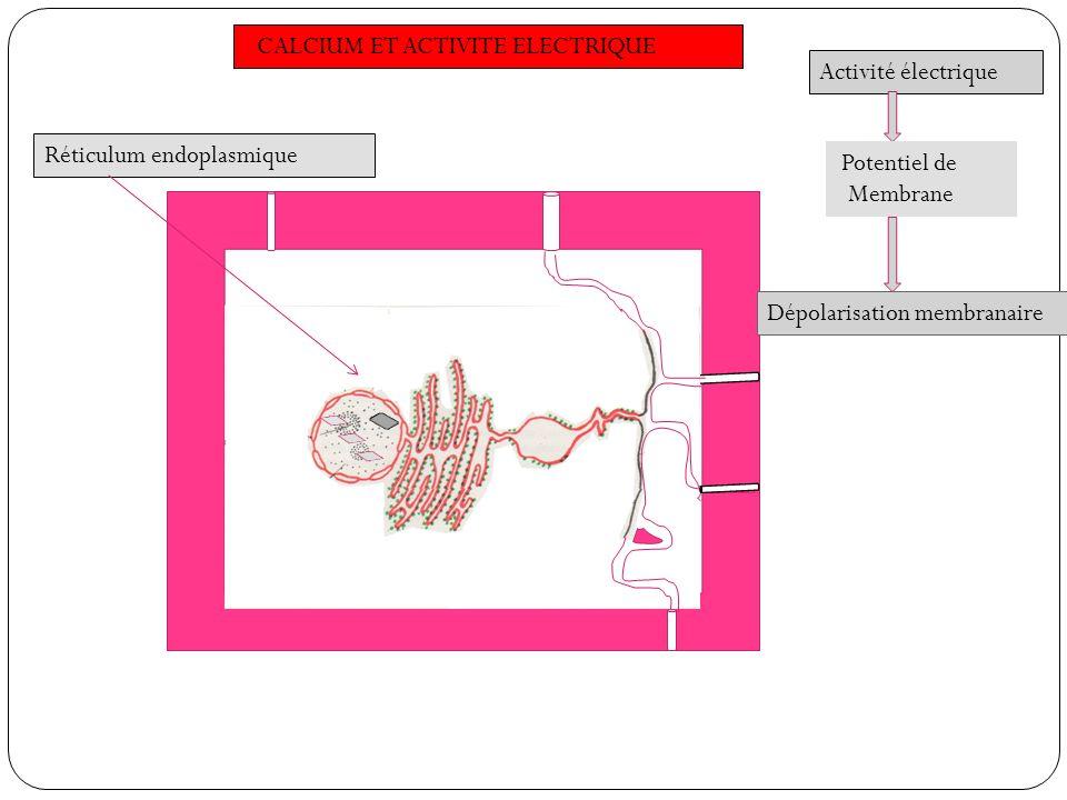 Réticulum endoplasmique Activité électrique Dépolarisation membranaire Potentiel de Membrane CALCIUM ET ACTIVITE ELECTRIQUE