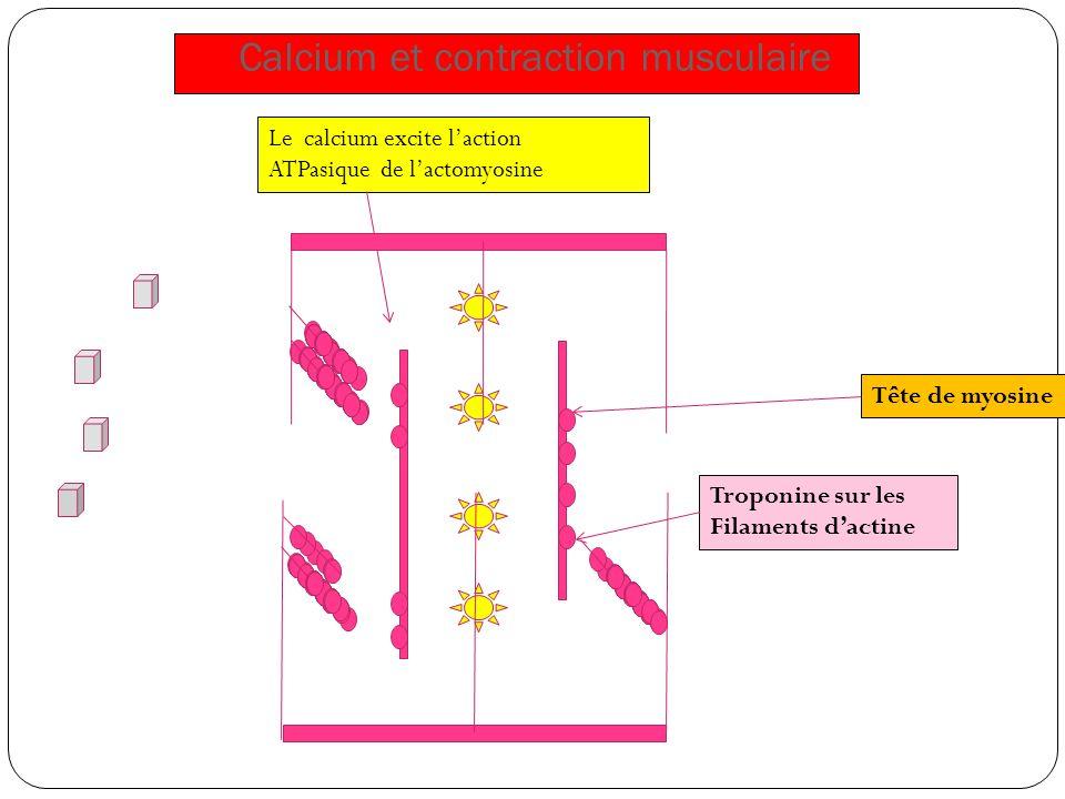 Calcium et contraction musculaire Tête de myosine Troponine sur les Filaments dactine Le calcium excite laction ATPasique de lactomyosine