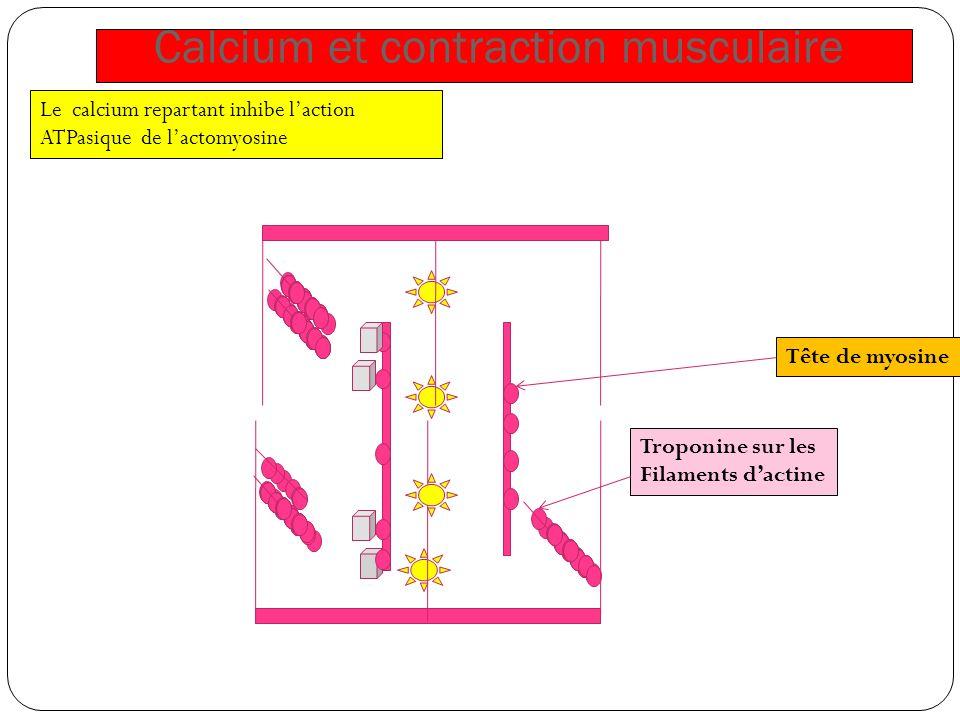 Calcium et contraction musculaire Tête de myosine Troponine sur les Filaments dactine Le calcium repartant inhibe laction ATPasique de lactomyosine