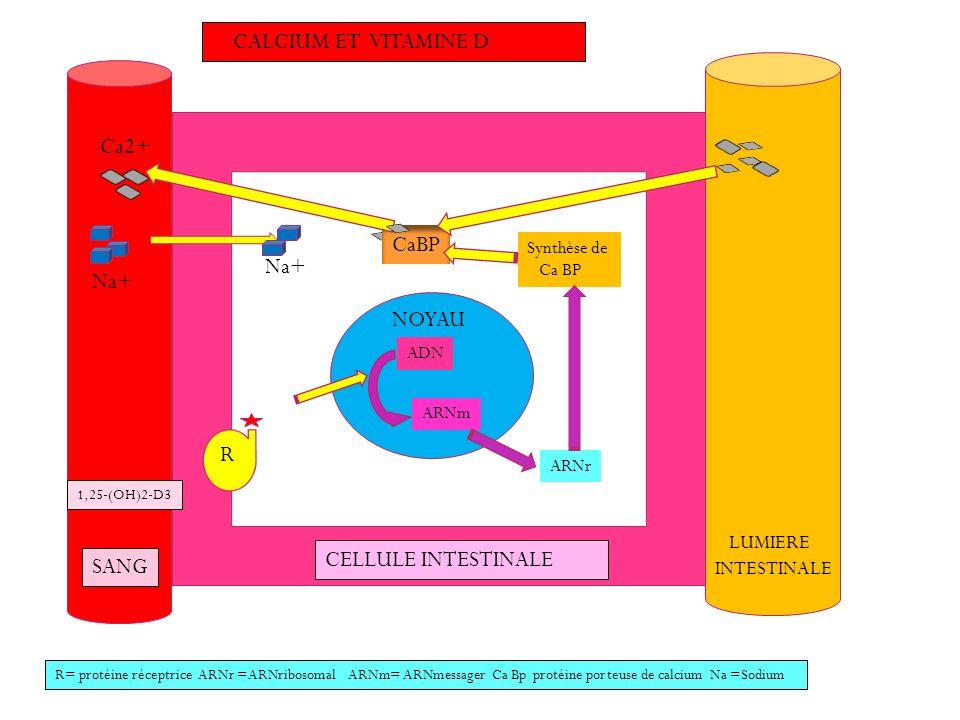 CALCIUM ET VITAMINE D SANG CELLULE INTESTINALE LUMIERE INTESTINALE 1,25-(OH)2-D3 NOYAU ADN ARNm ARNr Synthèse de Ca BP R Na+ Ca2+ R= protéine réceptri