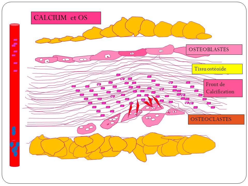 vvvvvvvvvvvvvv v v vvvvvv v v v v v OSTEOBLASTES Tissu ostéoide Front de Calcification OSTEOCLASTES
