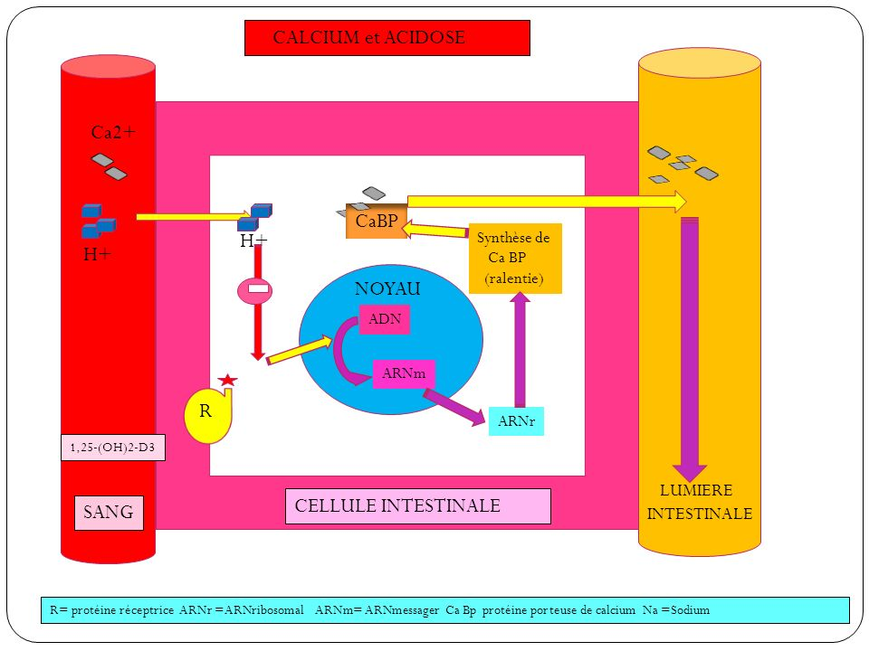 CALCIUM et ACIDOSE SANG CELLULE INTESTINALE LUMIERE INTESTINALE 1,25-(OH)2-D3 NOYAU ADN ARNm ARNr Synthèse de Ca BP (ralentie) CaBP R H+ Ca2+ R= proté