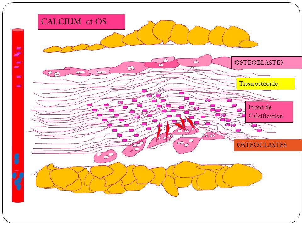 CALCIUM et OS vvvvvvvvvvvvvv v v vvvvvv v v v v v OSTEOBLASTES Tissu ostéoide Front de Calcification OSTEOCLASTES