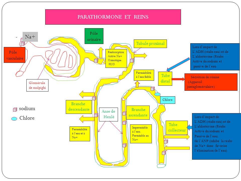 PARATHORMONE ET REINS - Pôle vasculaire Pôle urinaire Glomérule de malpighi Tubule proximal Anse de Henlé Branche descendante Branche ascendante Tube