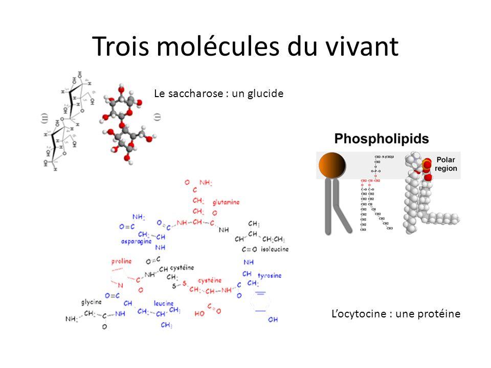 Trois molécules du vivant Le saccharose : un glucide Locytocine : une protéine
