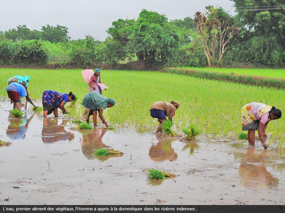 Leau, premier aliment des végétaux, lHomme a appris à la domestiquer dans les rizières indiennes...