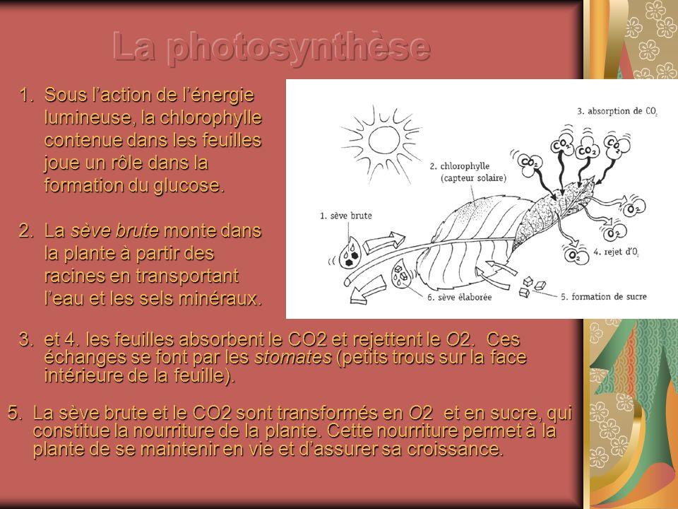 1.Sous laction de lénergie lumineuse, la chlorophylle contenue dans les feuilles joue un rôle dans la formation du glucose. 2.La sève brute monte dans