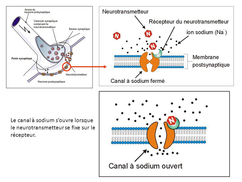 1.Dégradation par enzymes de le fente synaptique.