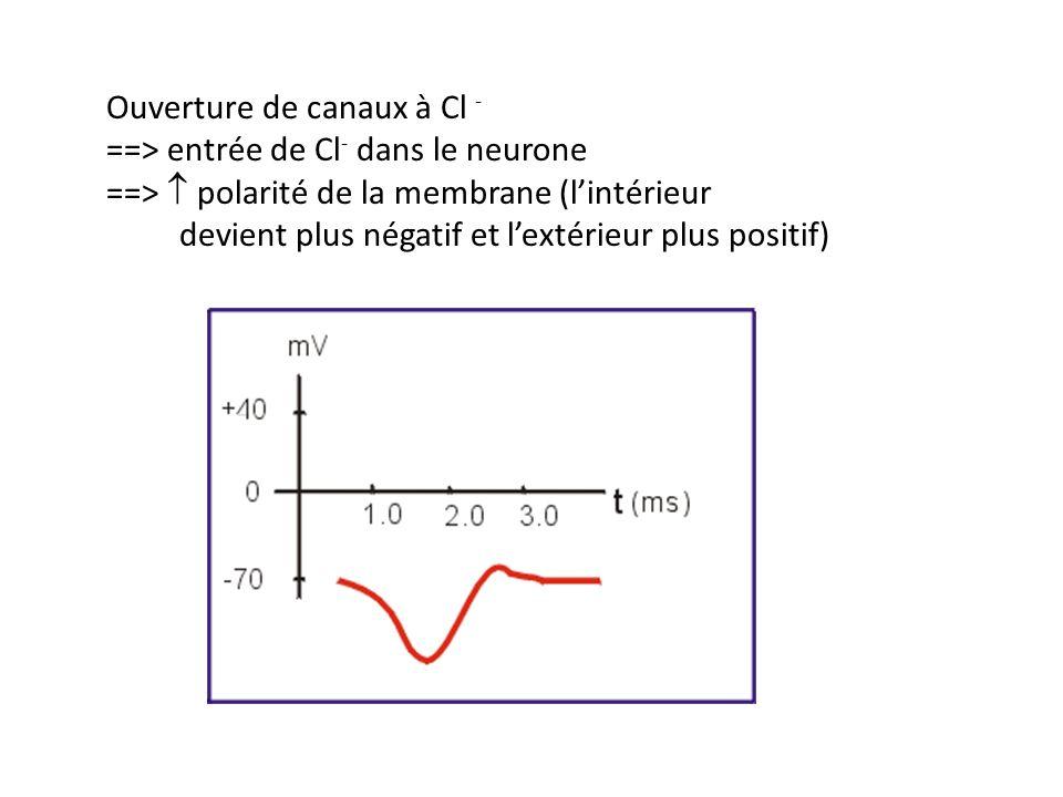 Ouverture de canaux à K + supplémentaires ==> perméabilité au K + ==> diffusion du K + vers lextérieur ==> polarité Un neurone hyperpolarisé est plus difficile à dépolariser jusquau seuil.