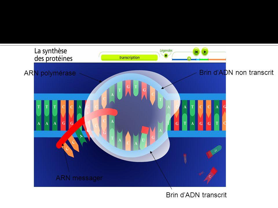 ARN polymérase ARN messager Brin dADN non transcrit Brin dADN transcrit