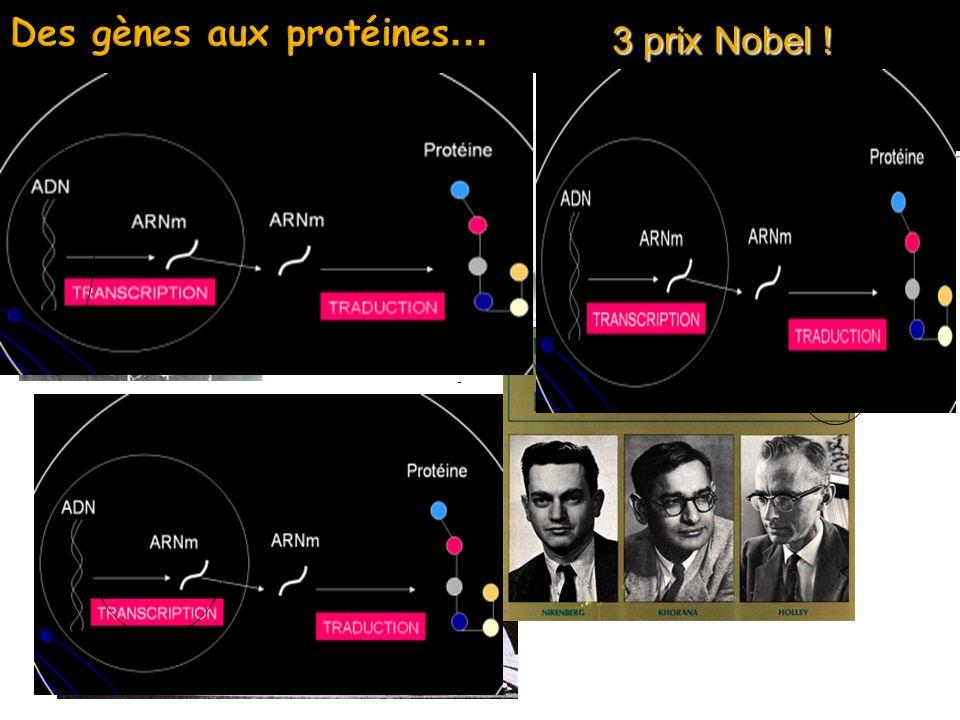 « L information génétique est codée sous forme d ordre linéaire des 4 bases des acides nucléiques qui correspondent aux ordres des 20 variétés d acides aminés dans les protéines.