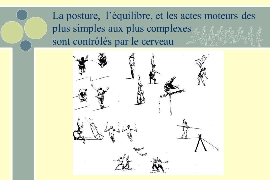 La posture, léquilibre, et les actes moteurs des plus simples aux plus complexes sont contrôlés par le cerveau